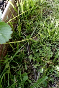 Garter Snake - Rescued